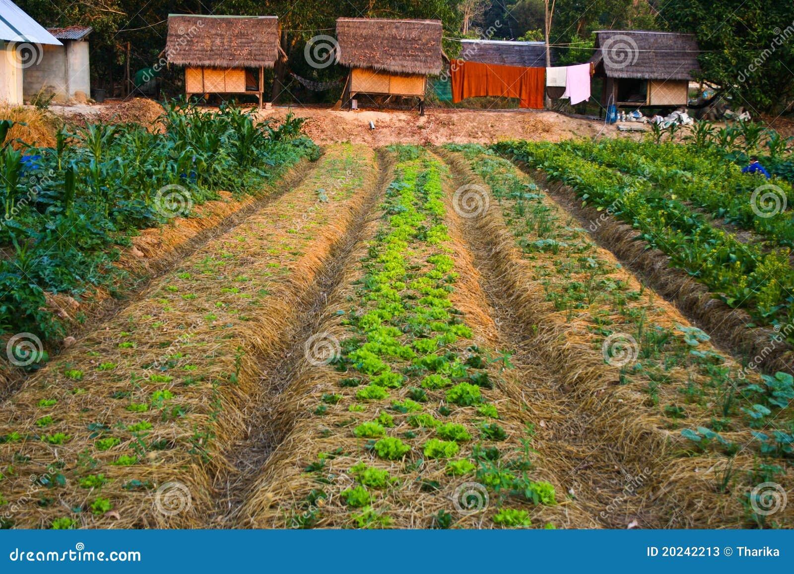 Agriculture,farm,rice ,Thai Farmers Stock Photos - Image: 20242213