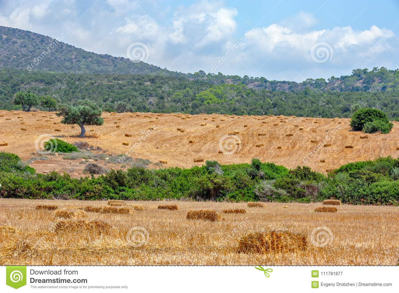 Agriculture field with straw bales