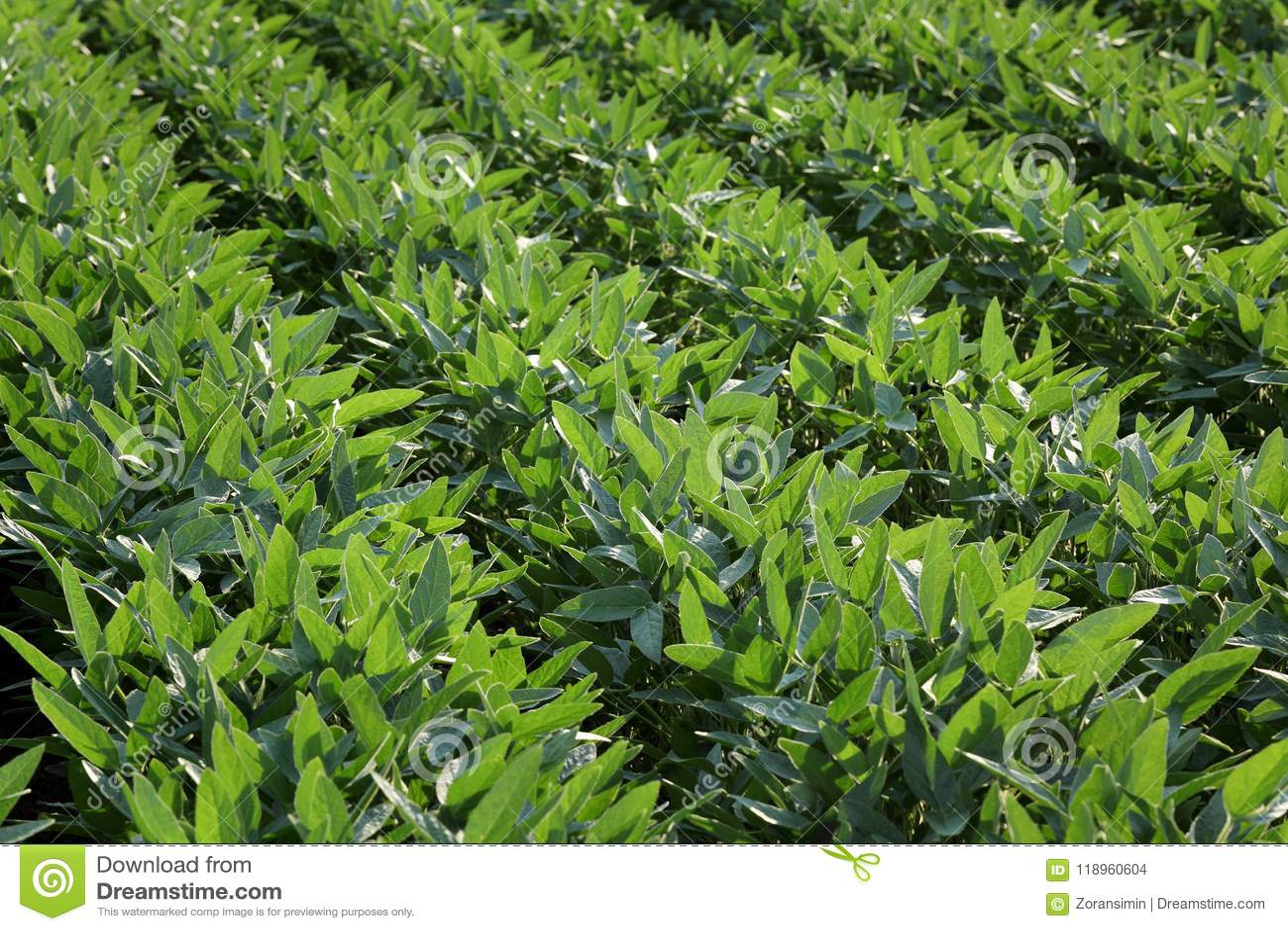 Green cultivated soybean plants in field