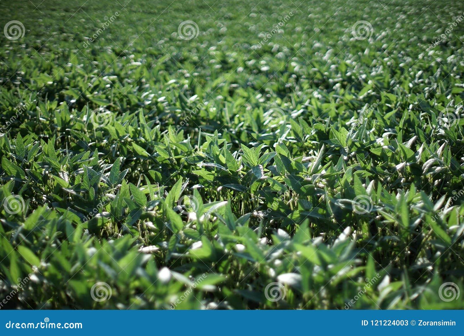 Green soybean plants in field