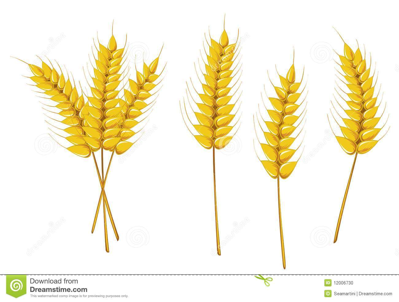 Ripe wheat isolated on white as an agriculture concept.