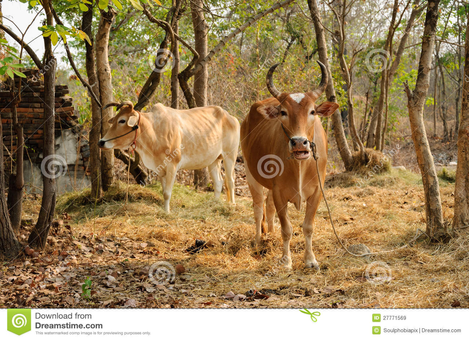 Agriculture thaïe de vache