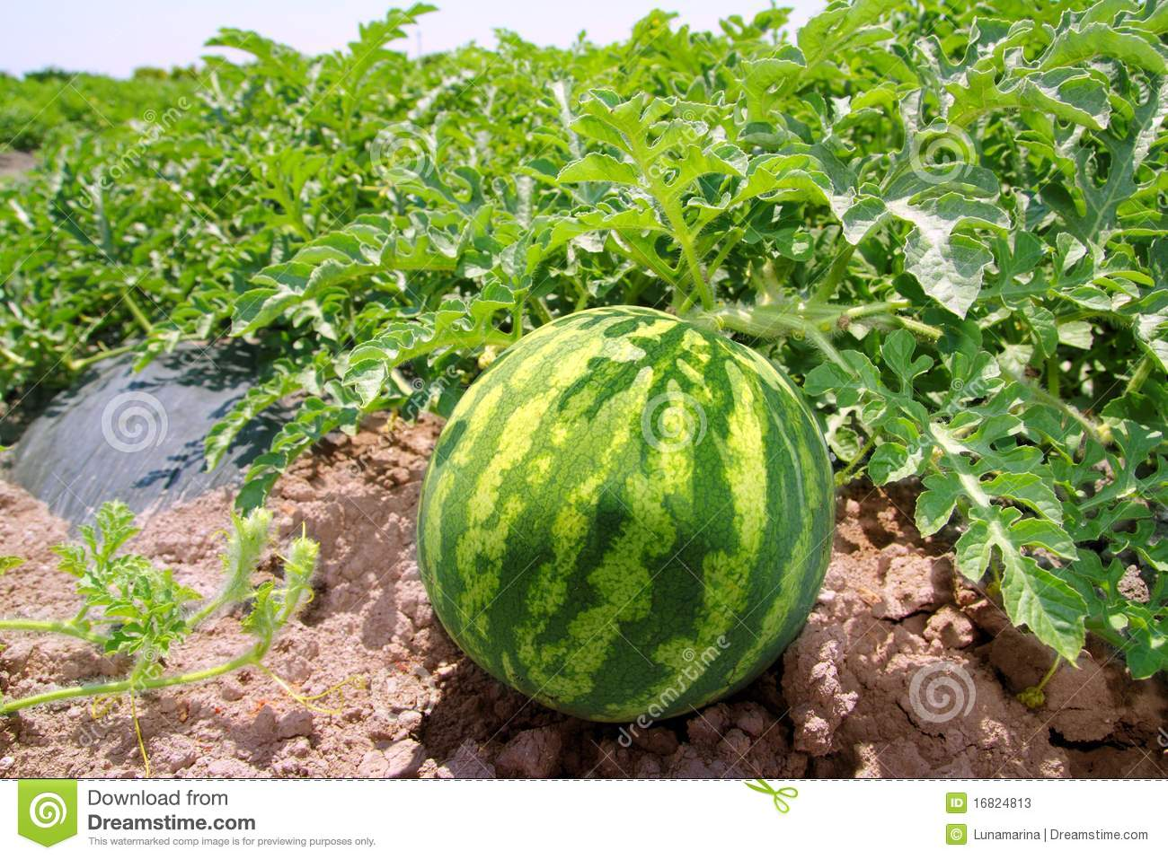 Agriculture Watermelon Field Big Fruit Water Melon Stock ...