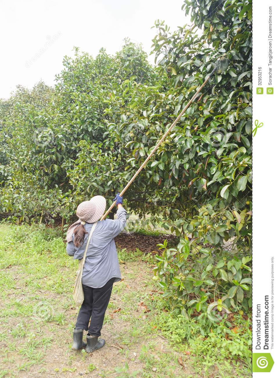 Agriculturists harvesting mangosteen in the garden.