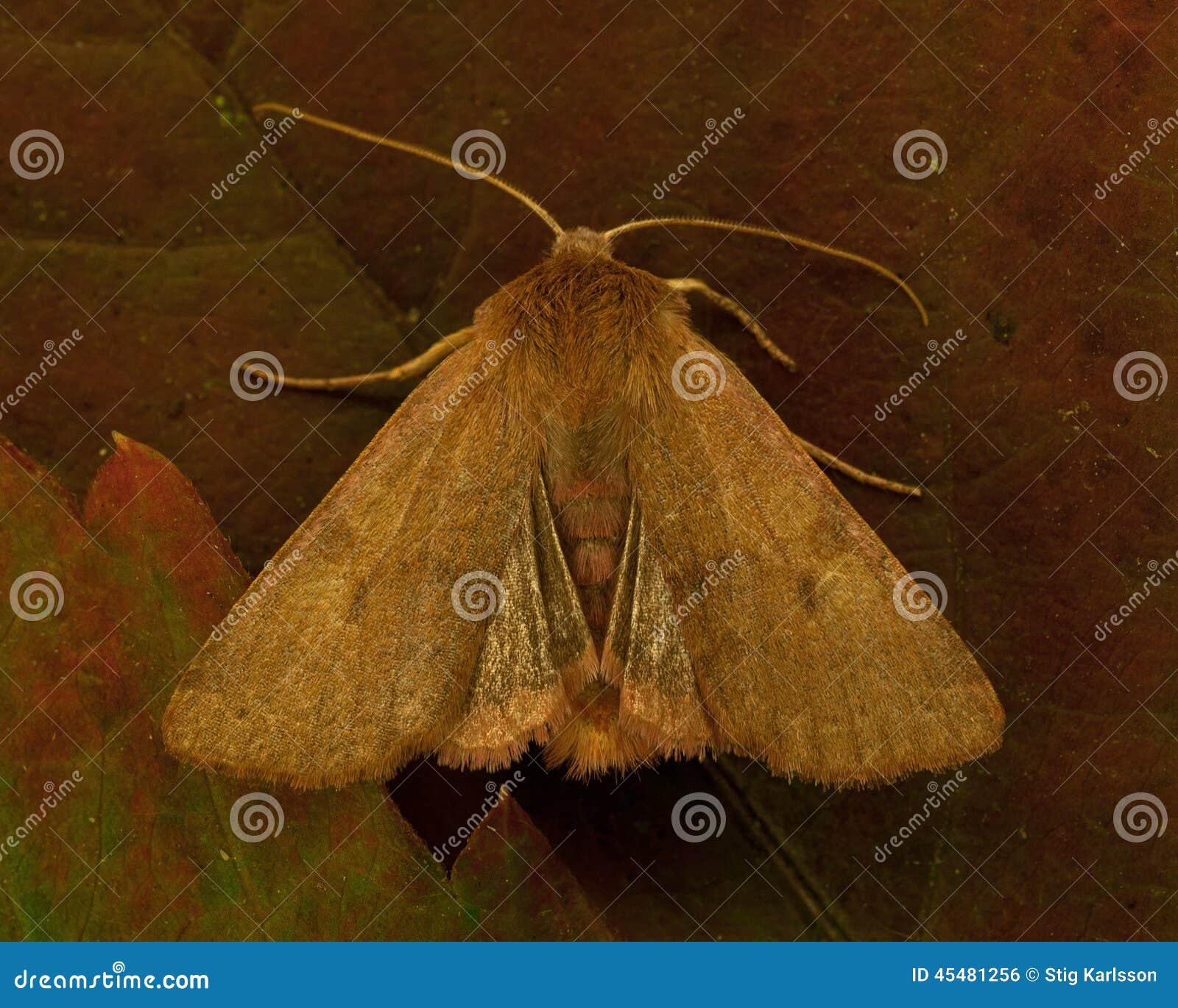 Agrochola helvola被装饰衣裙的栗子
