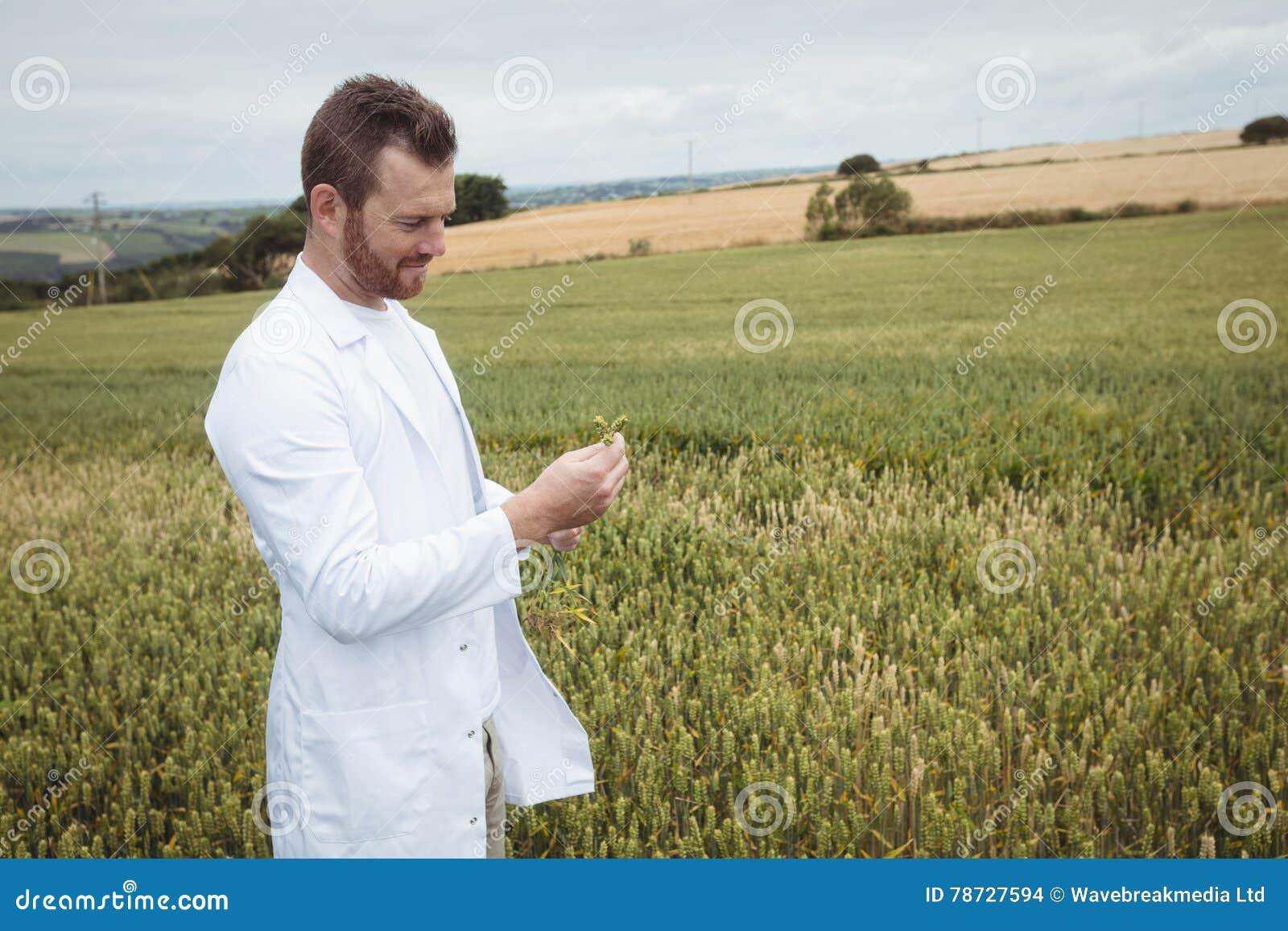 Agronom som kontrollerar skördarna i fältet