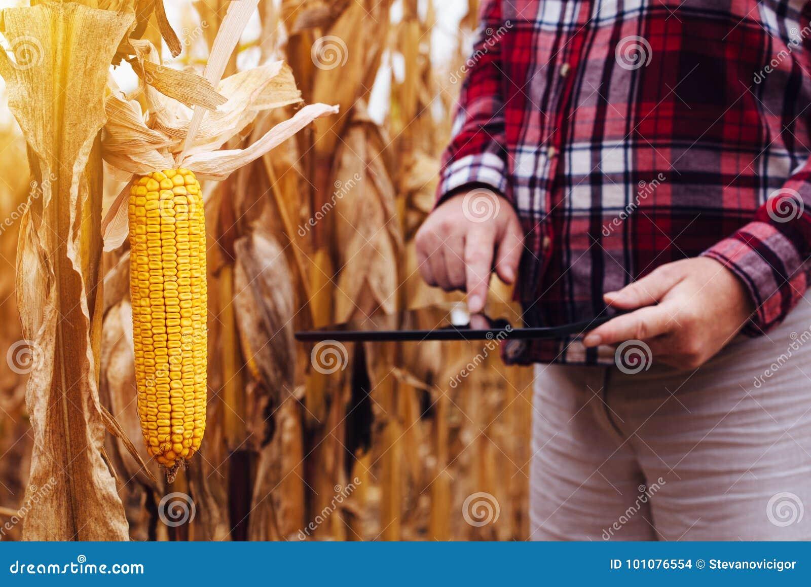 Agronome féminin analysant des cultures de maïs pour la récolte