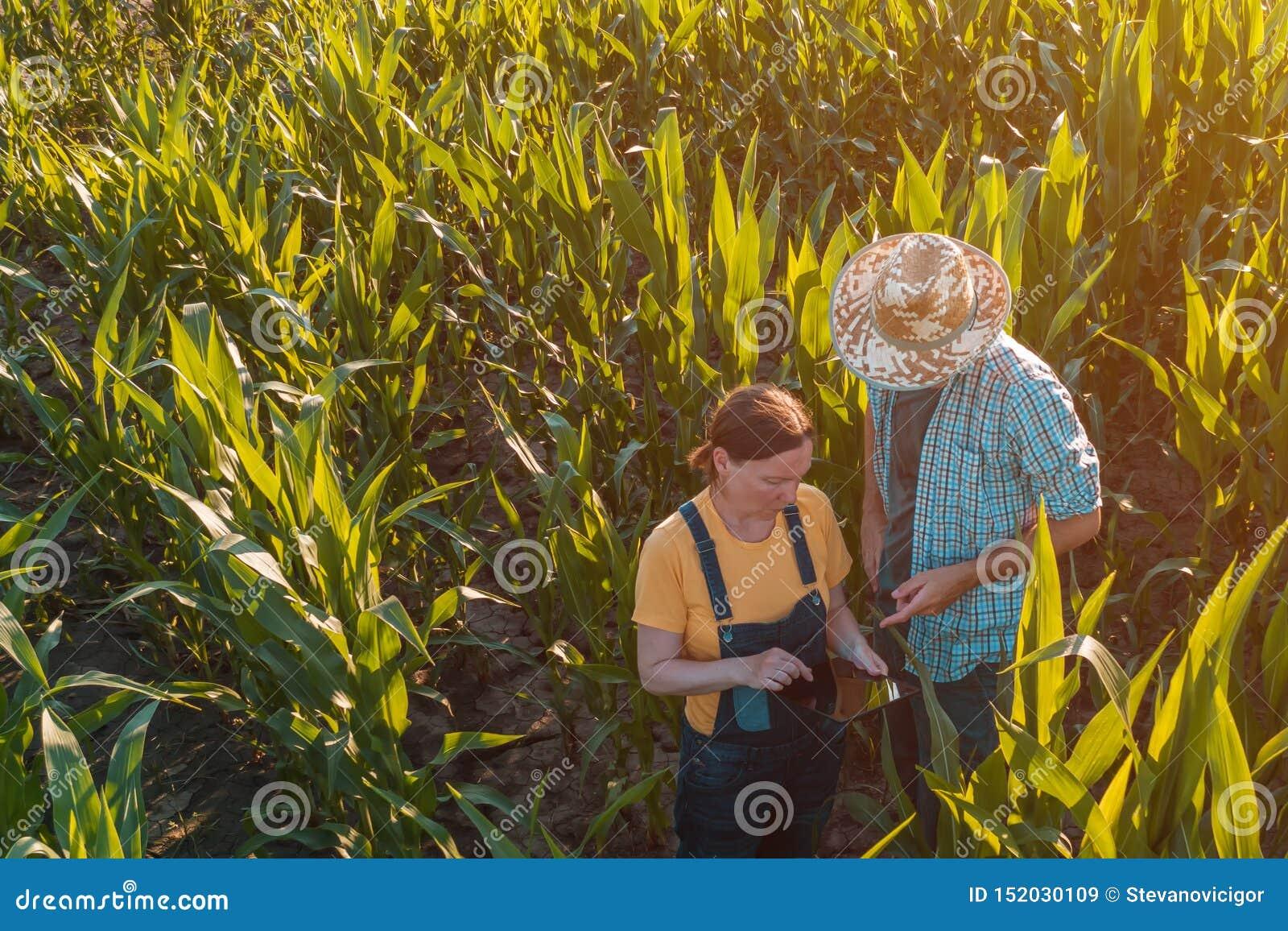 Agronome féminin conseillant l agriculteur de maïs dans le domaine de culture