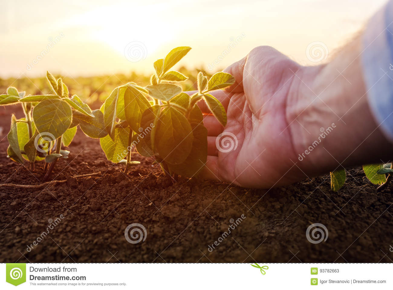 Agronomist checking small soybean plants in cultivated agricultural field