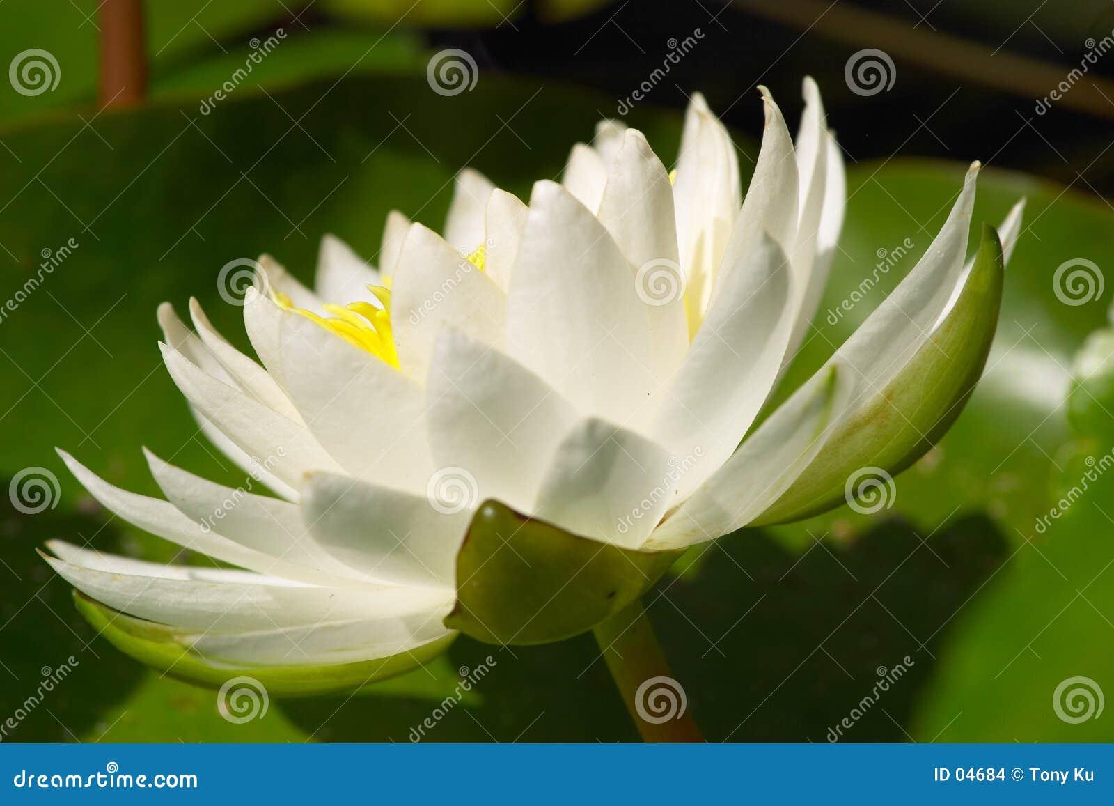 Agua blanca Lilly