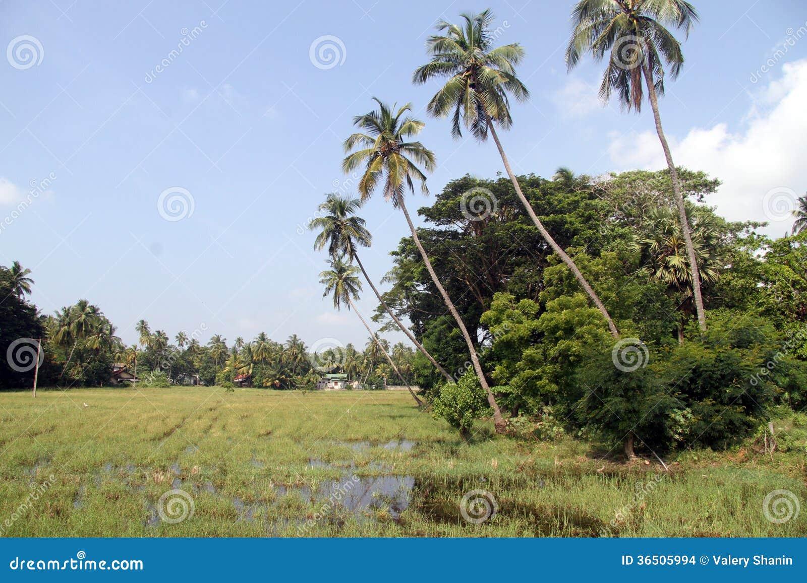Agua en el campo del arroz