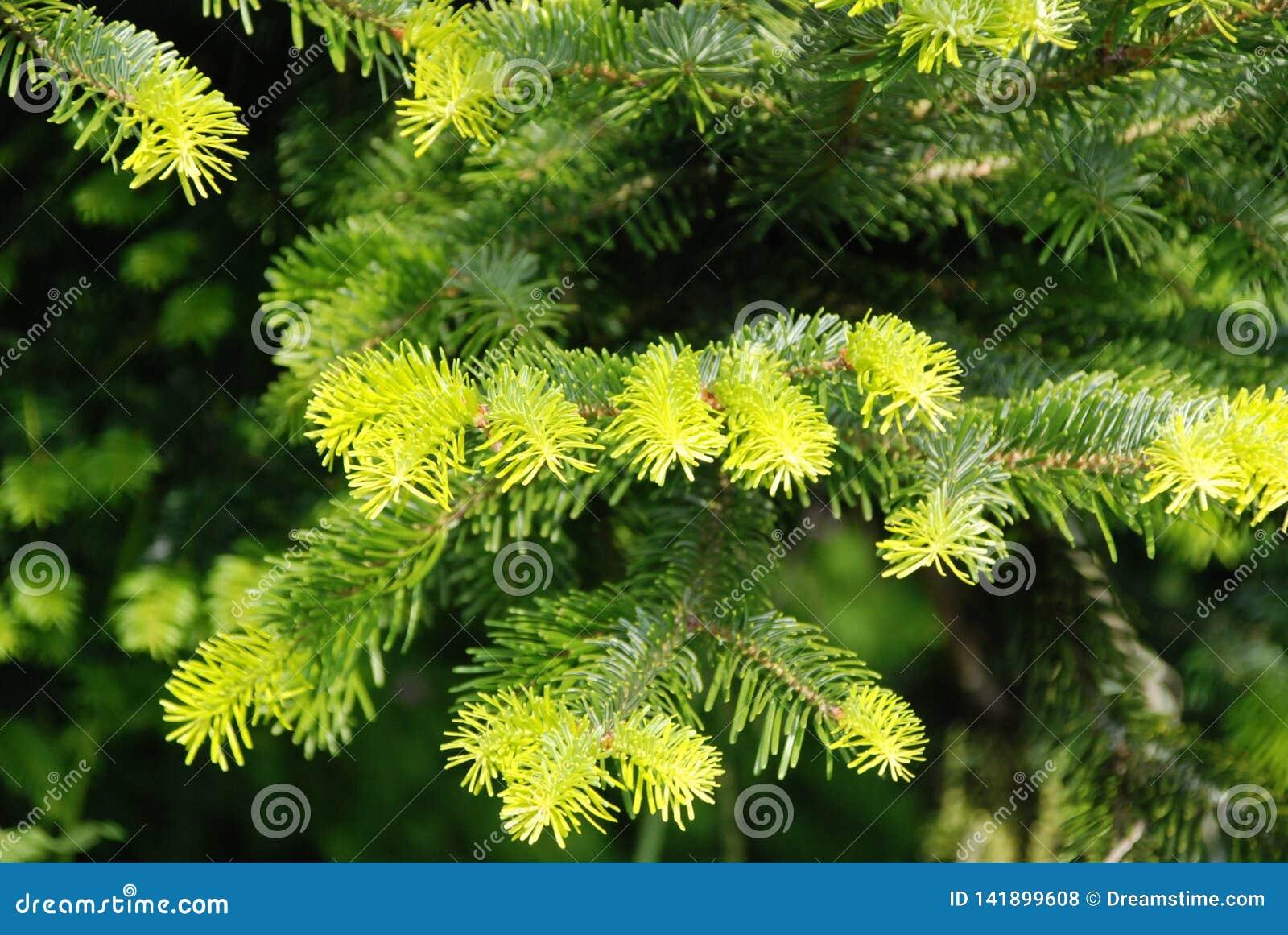 Agujas verdes frescas en el árbol de navidad