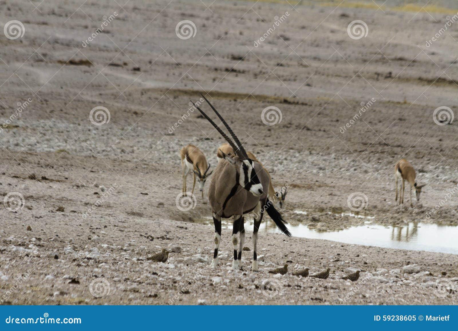 Download Agujero De Riego Cercano Del Gemsbok, Parque Nacional De Etosha, Namibia Imagen de archivo - Imagen de aventura, claxones: 59238605
