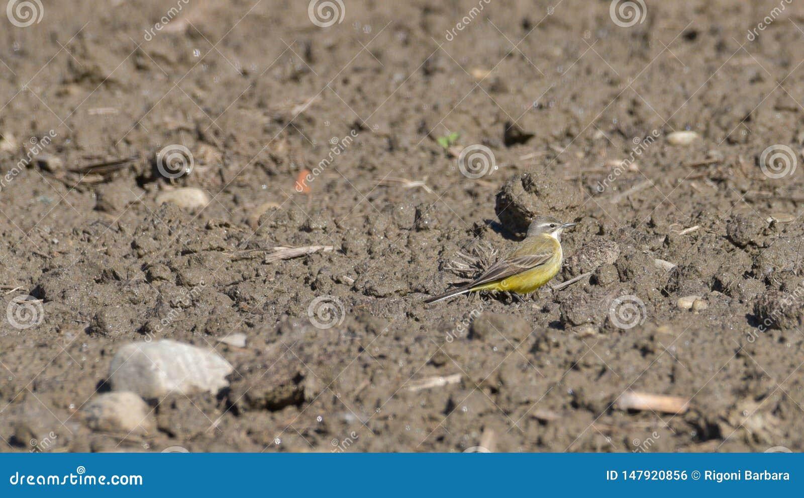 Aguzanieves amarillo que camina en la arena