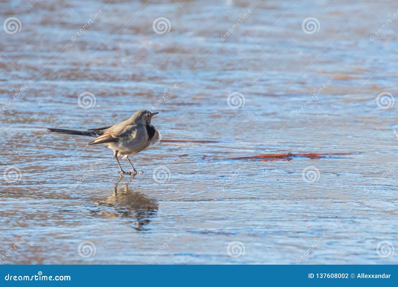 Aguzanieves blanco, pequeño Motacilla lindo del pájaro alba en el hielo, invierno congelado de la charca