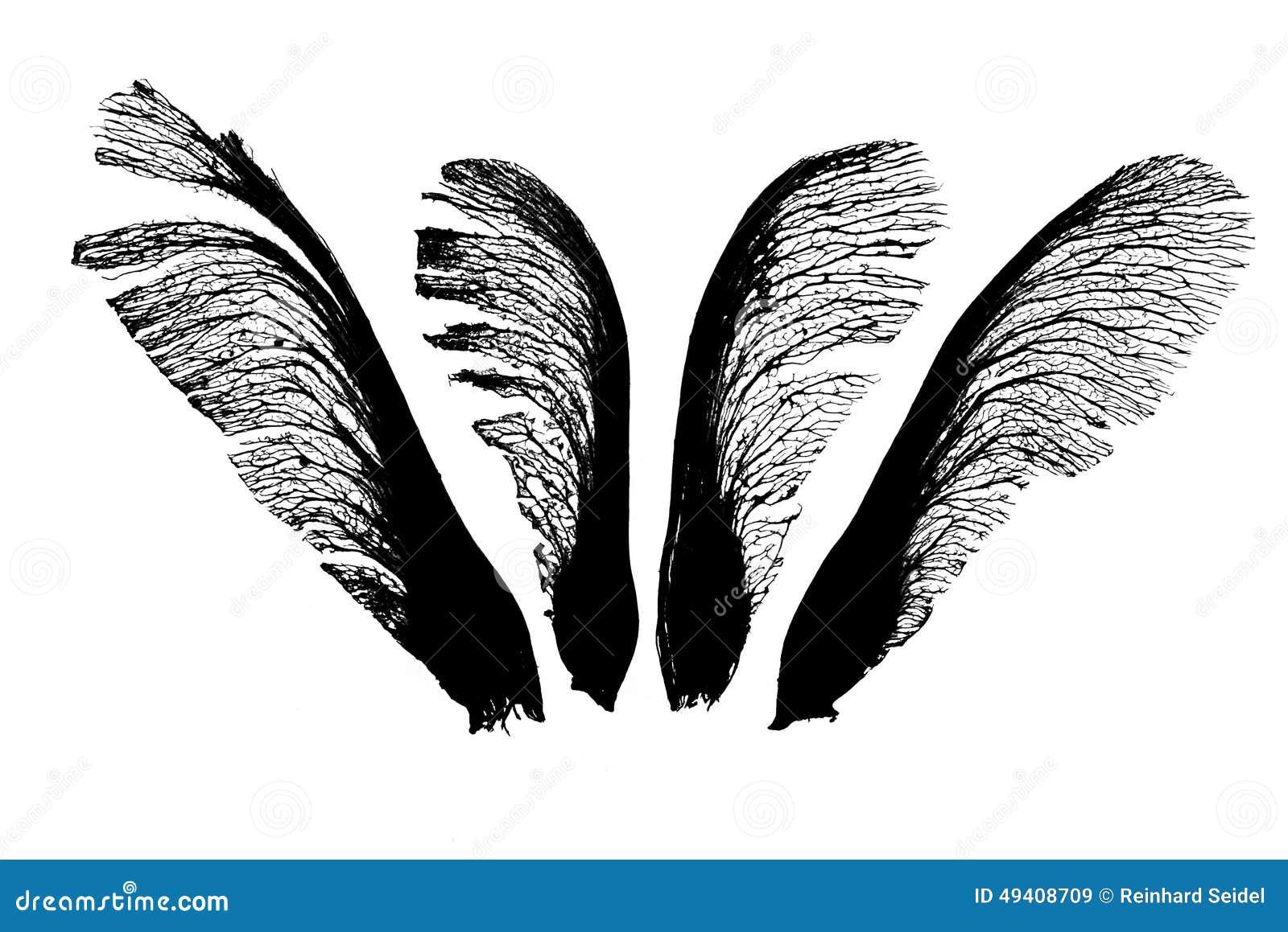 Download Ahorn sät quartett stockbild. Bild von muster, seed, ahornholz - 49408709