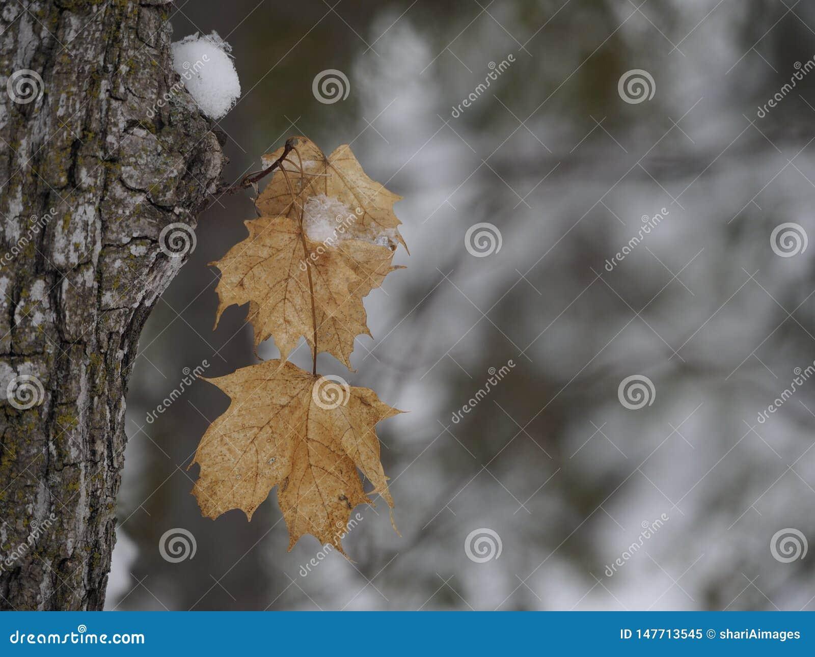Ahornblätter eingefroren im Winter