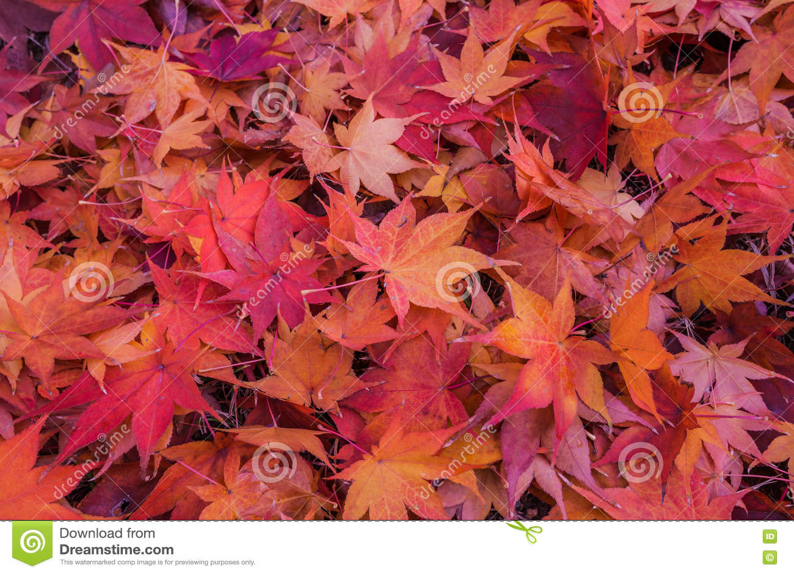 Ahornblatt im Herbst