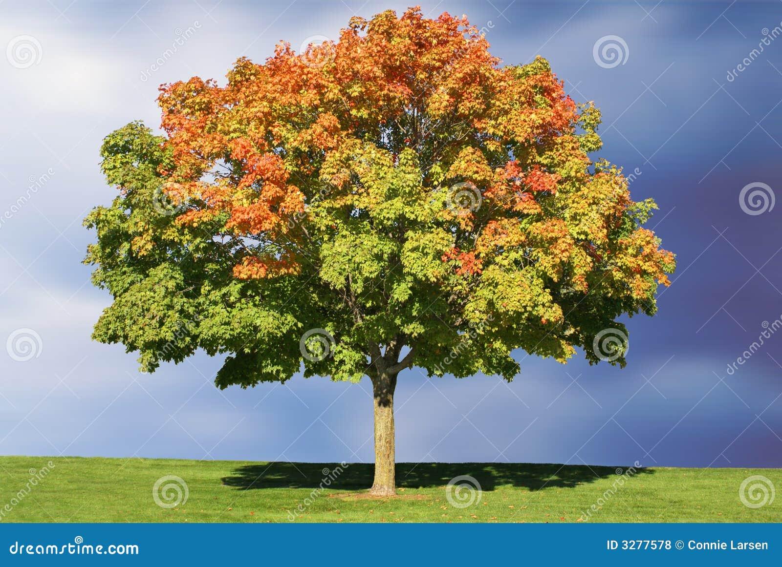 Ahornholz-Baum im Herbst