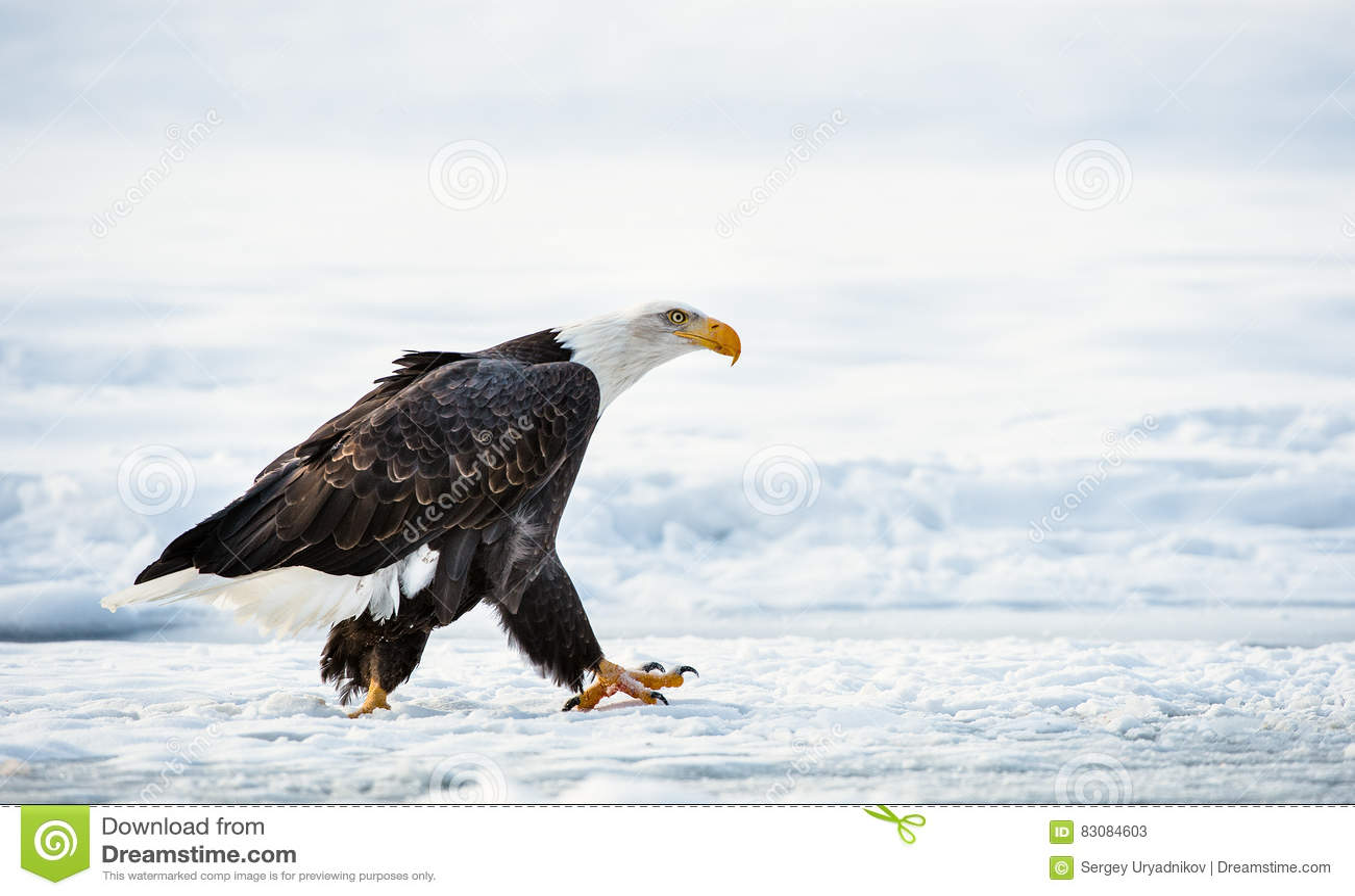 Aigle chauve adulte de marche