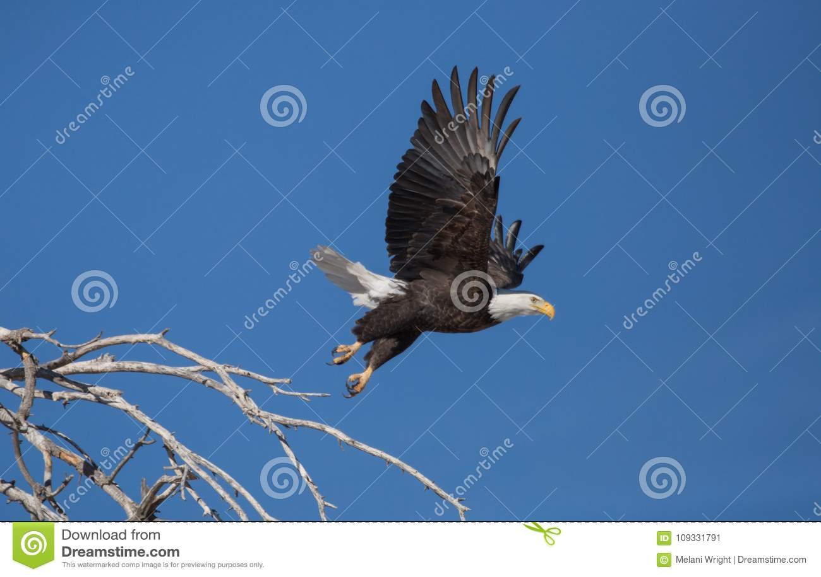 Aigle chauve décollant de la perche dans l arbre mort