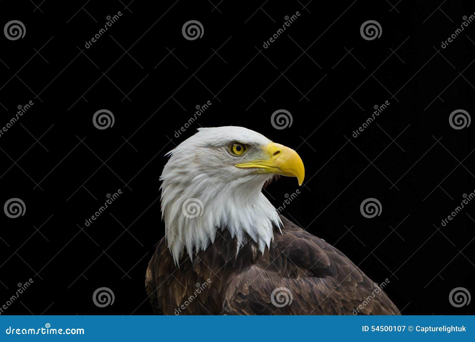 Aigle chauve dans le profil d isolement sur le fond noir