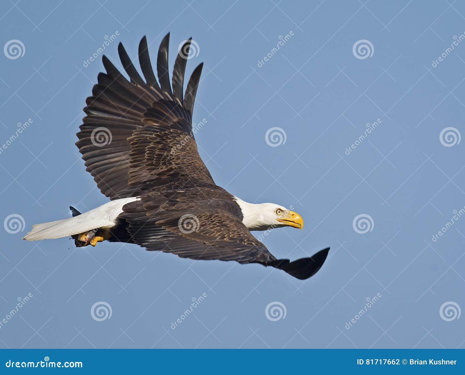 Aigle chauve en vol avec des poissons