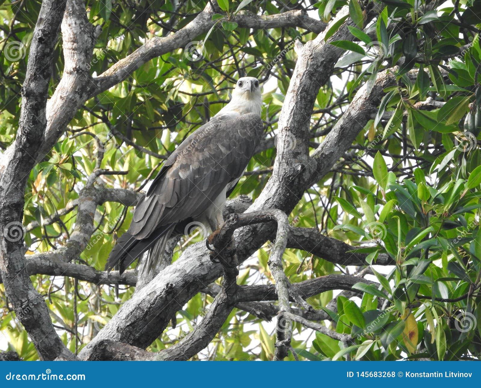 Aigle chauve m?r se reposant sur une branche d arbre sur un fond de ciel bleu, dans les jungles de Sri Lanka