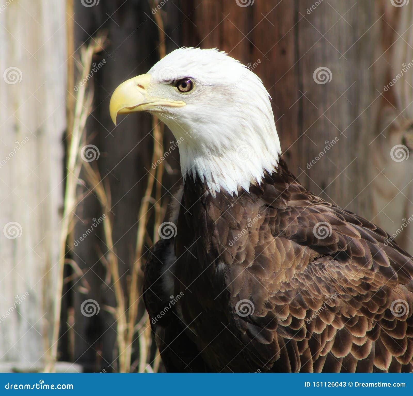 Aigle chauve
