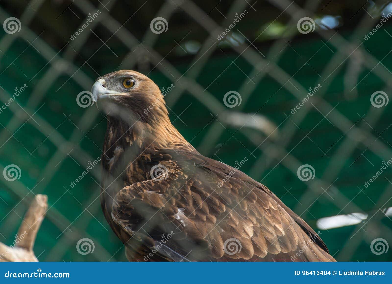 Aigle de steppe derrière le plan rapproché de trellis au zoo