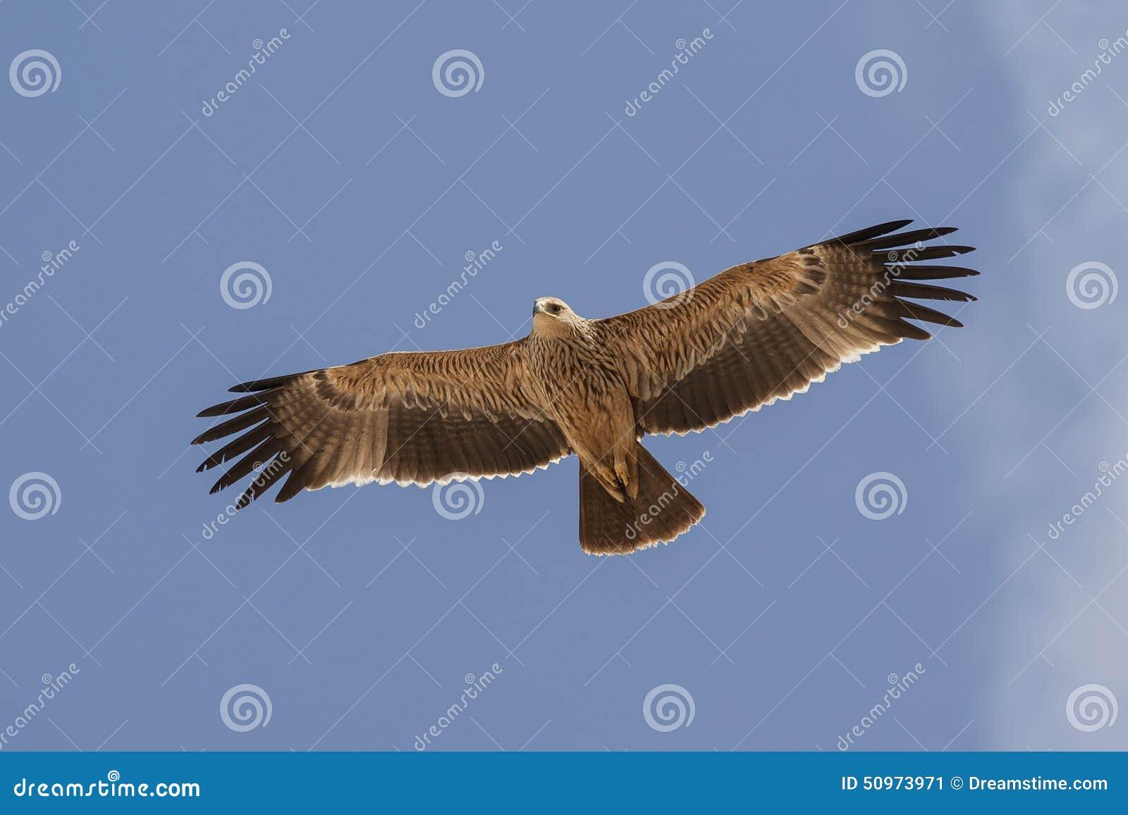 Aigle impérial oriental