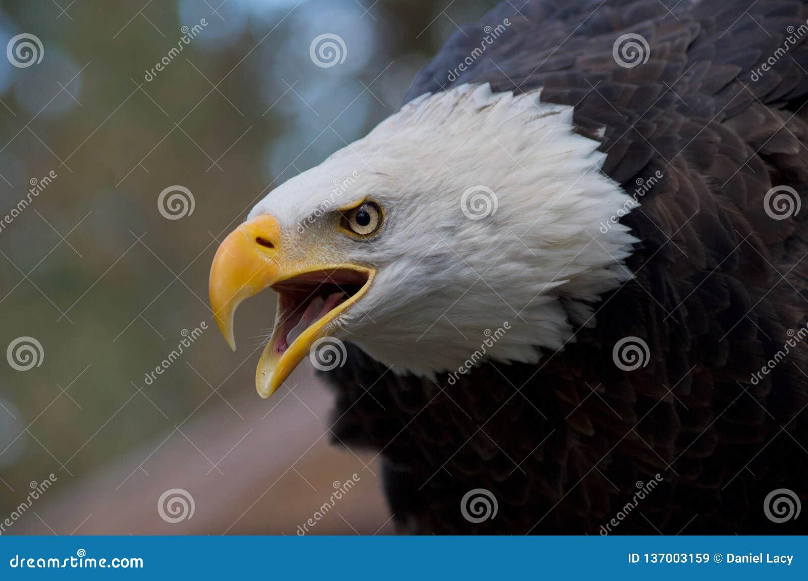Aigle majestueux appelant avec le bec ouvert et l expression intense dans ses yeux
