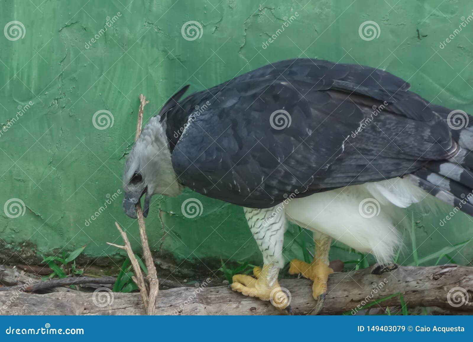 Aigle royal en captivité