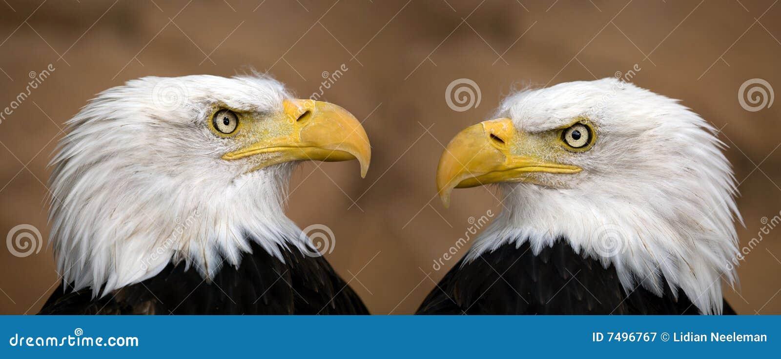 Aigles chauves américains
