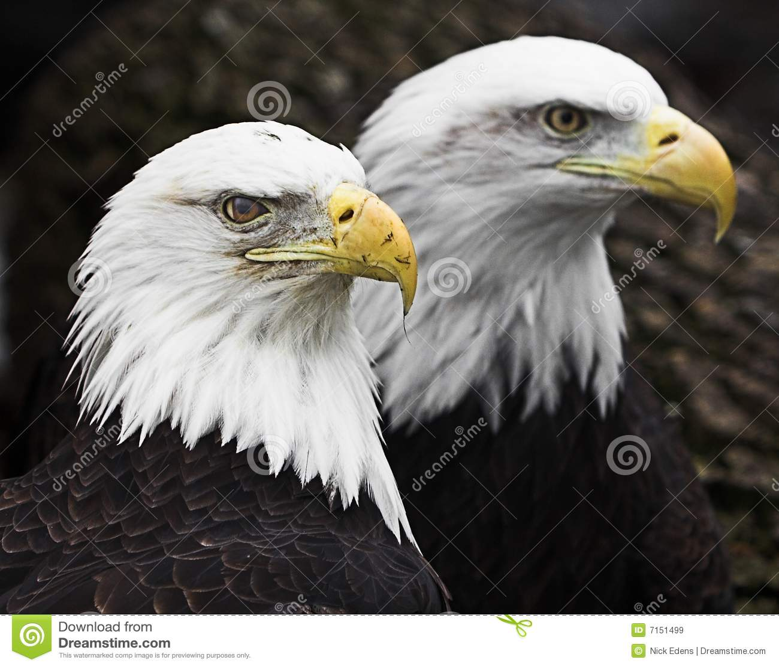 Aigles chauves deux
