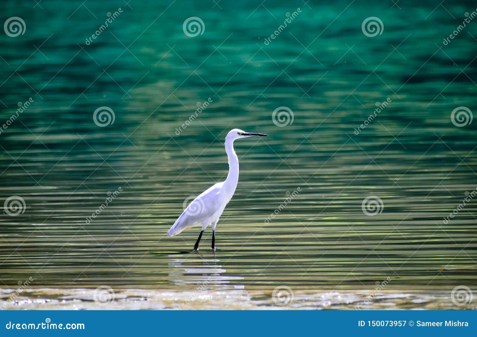 Aigrette in blauw water van ganga rishikesh mooie achtergrond