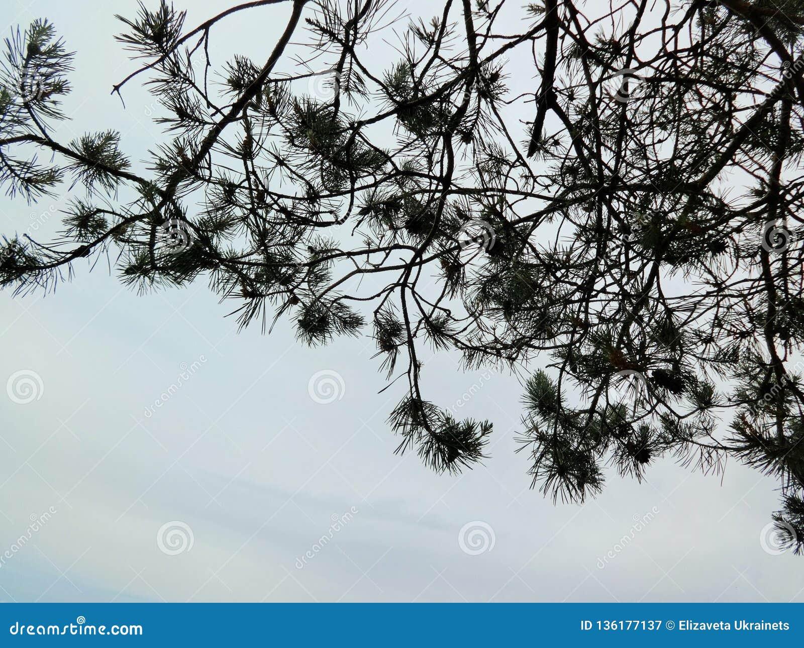 Aiguilles de pin noir sur le blanc