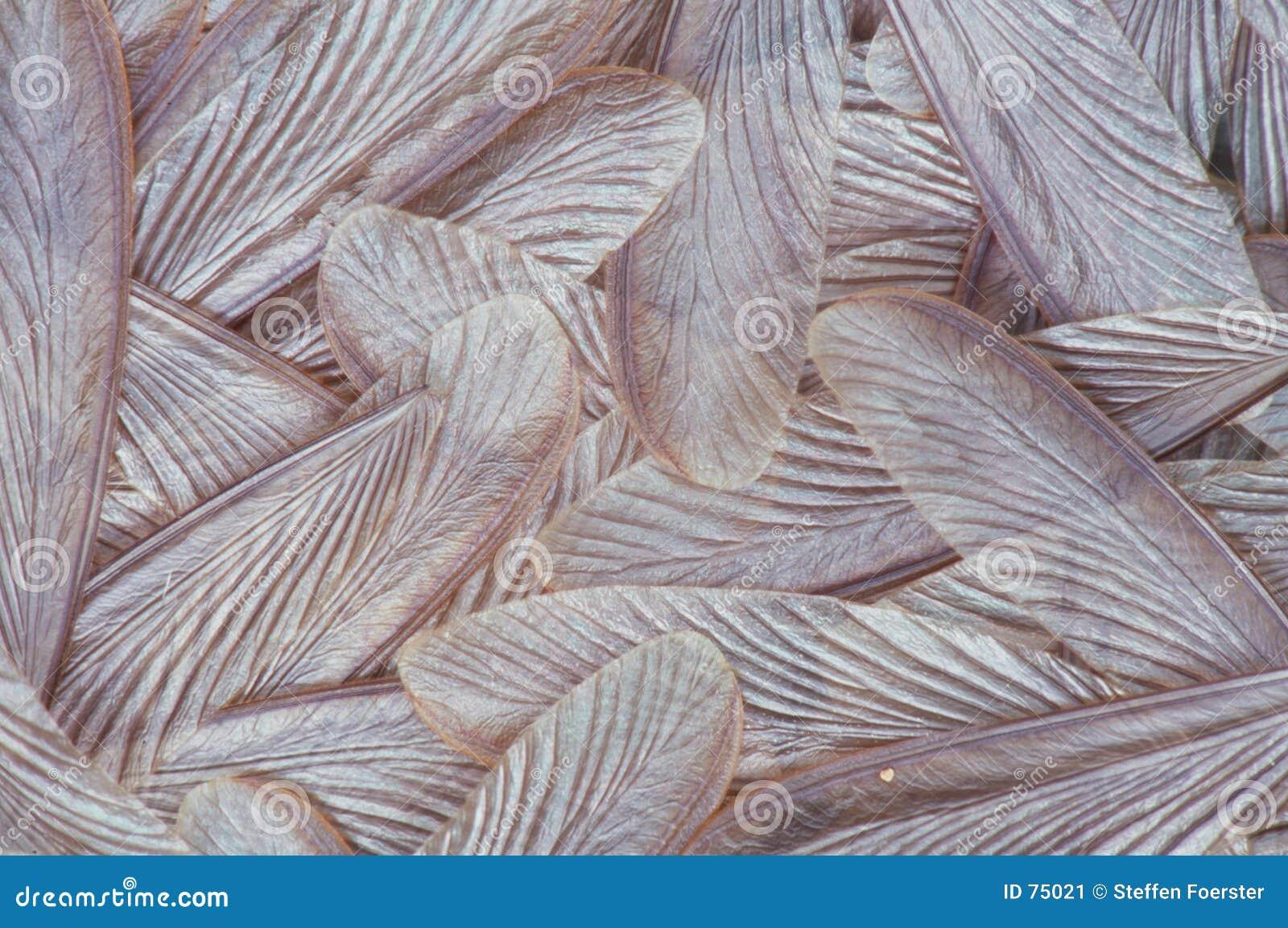Ailes de termite