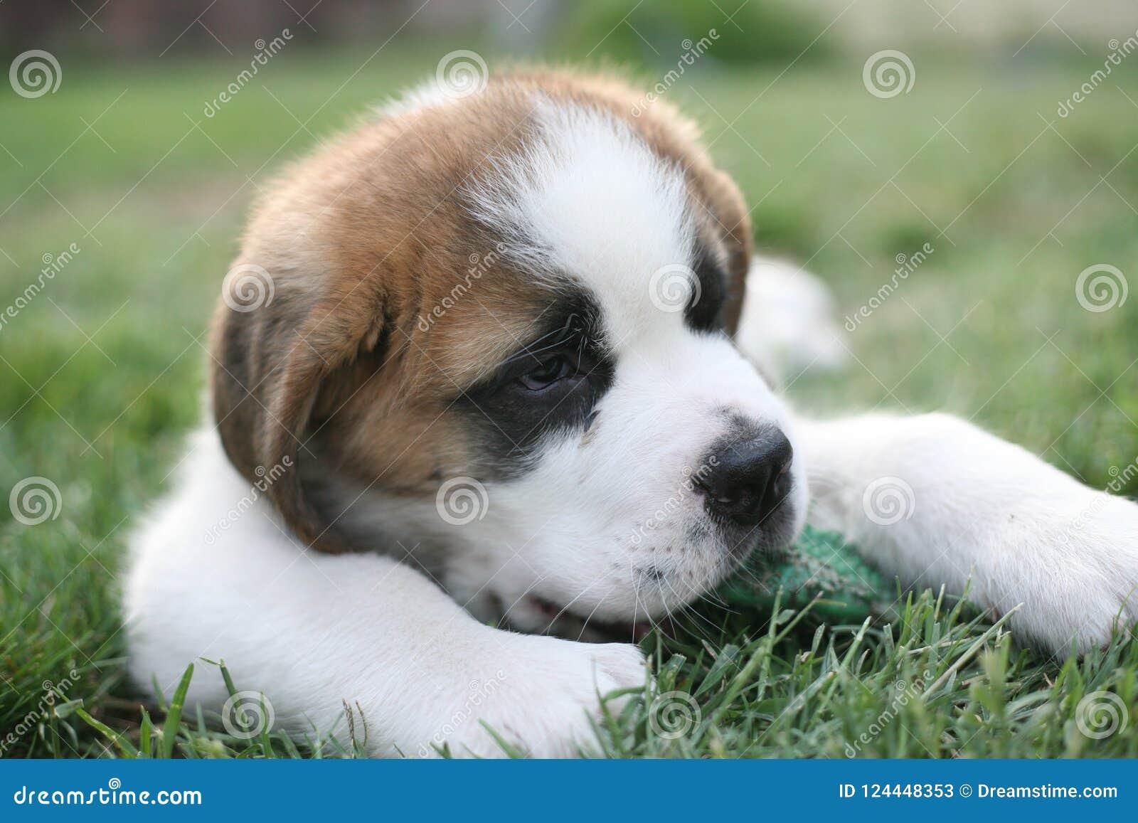 Aimée,一只逗人喜爱的圣伯纳德小狗