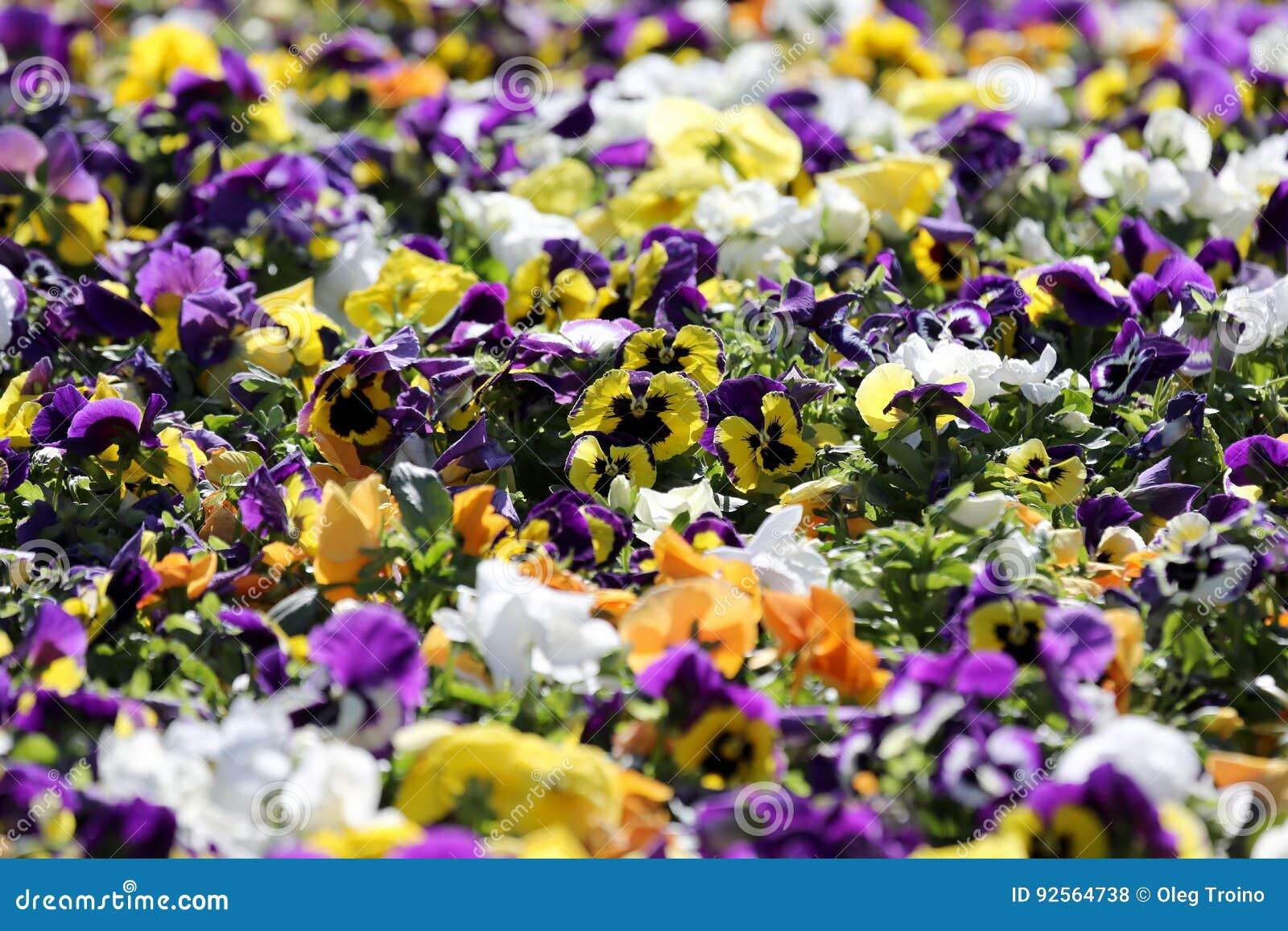 Aiola con differenti viole del pensiero dei fiori