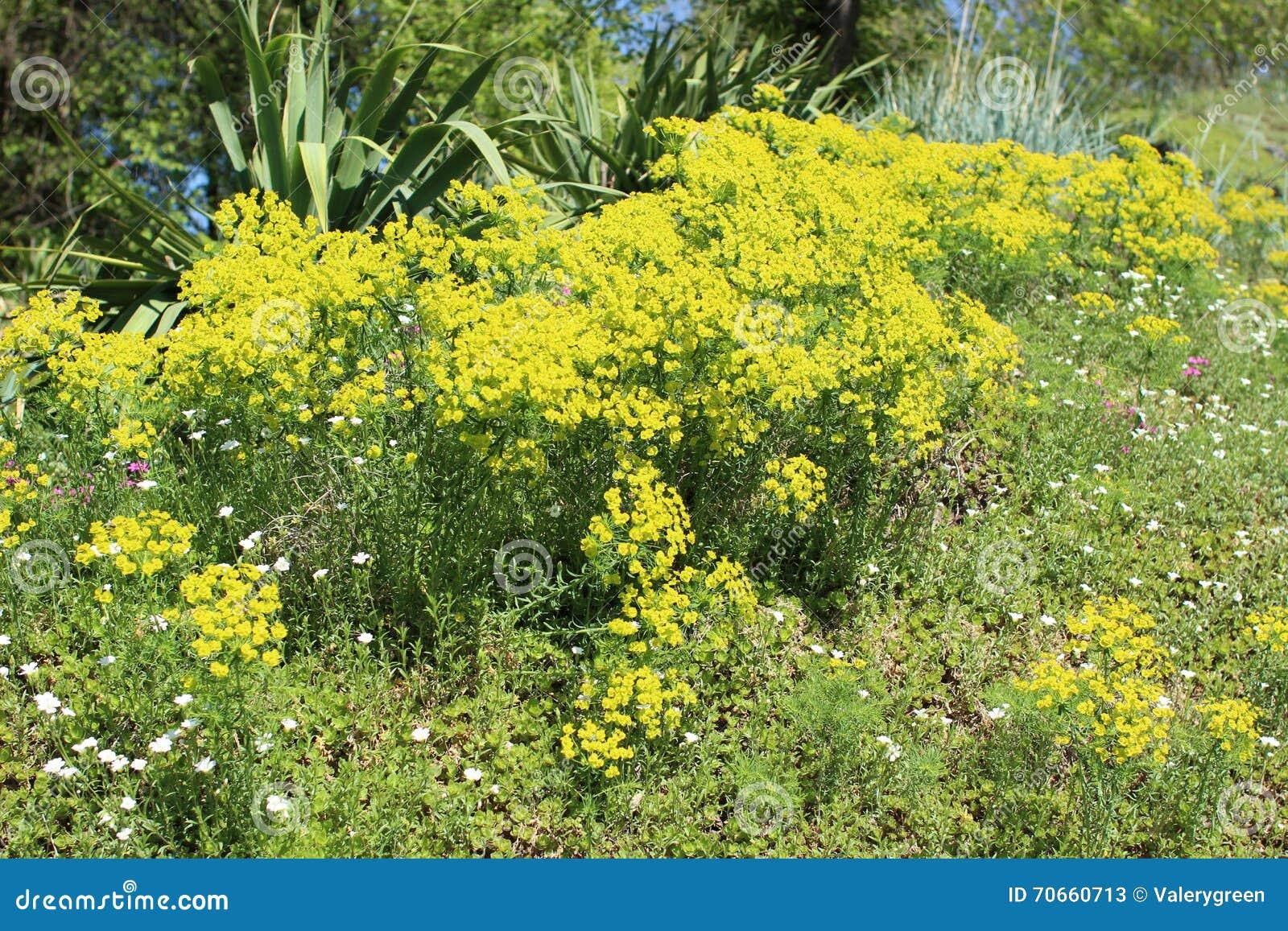 Aiola con la pianta succulente - euforbia Cyparissias