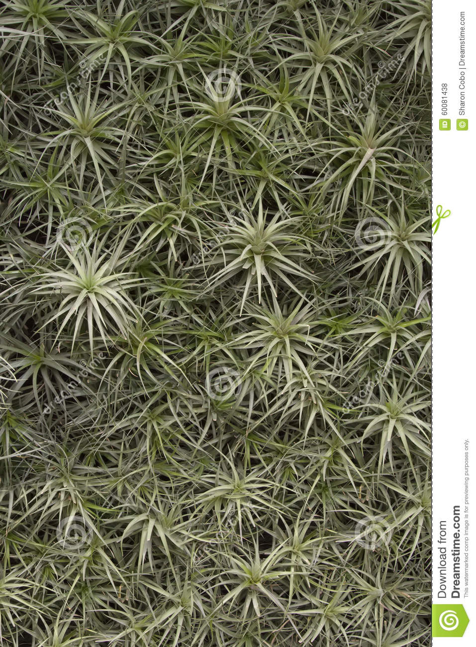 Air plant background stock photo image 60081438 - Plants that dont need soil natures wonders ...