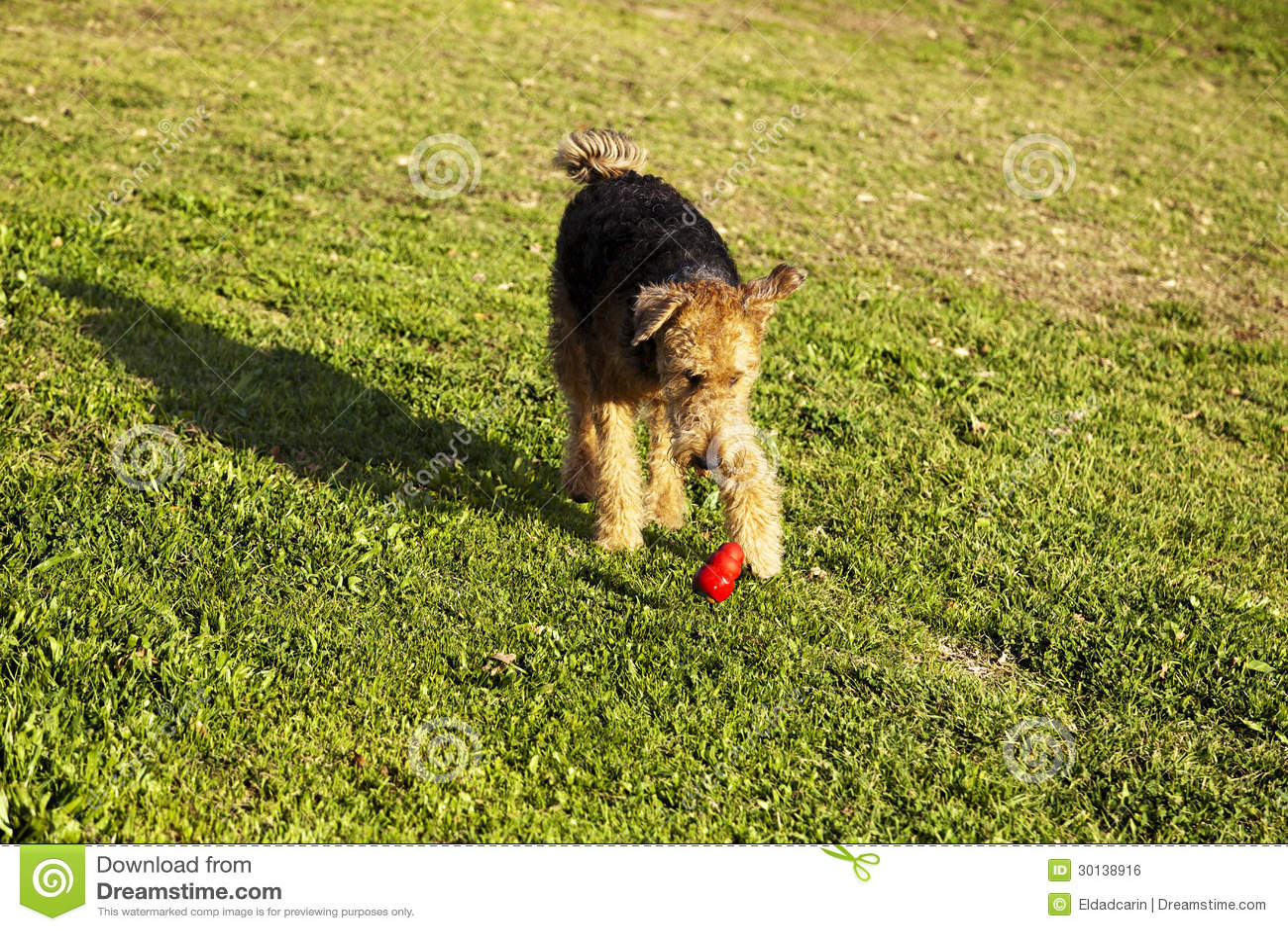 Airdale Terrier hundspring med tuggningleksaken på parkera