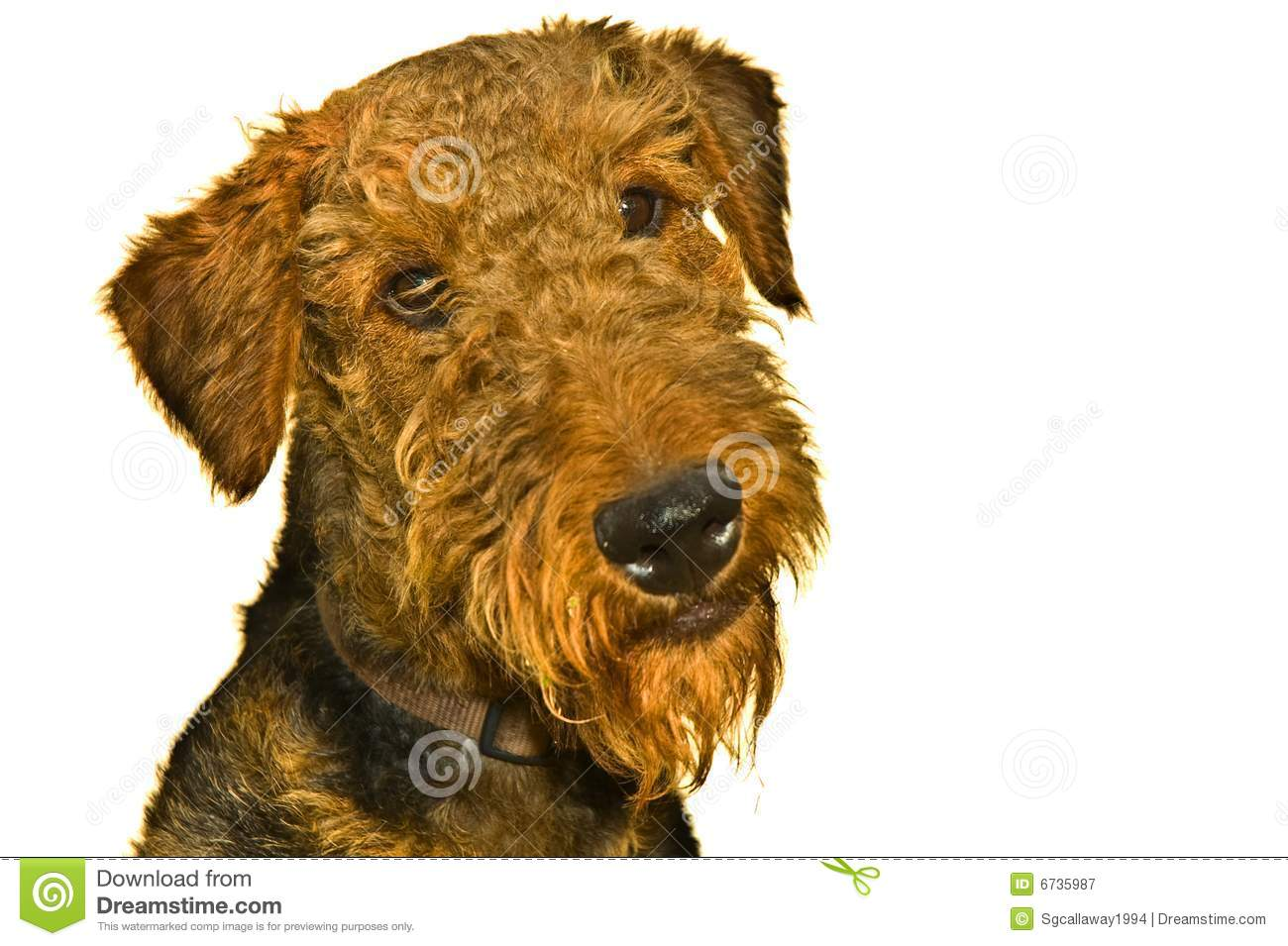 Airedale terrier dog curious expression isolated