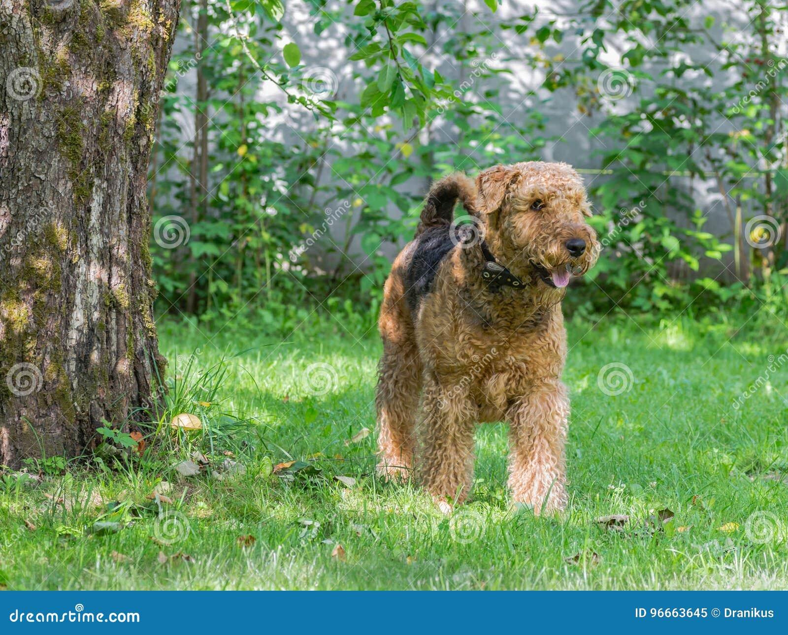 Airedale Terrier es un perro fuerte y muscular de la talla media