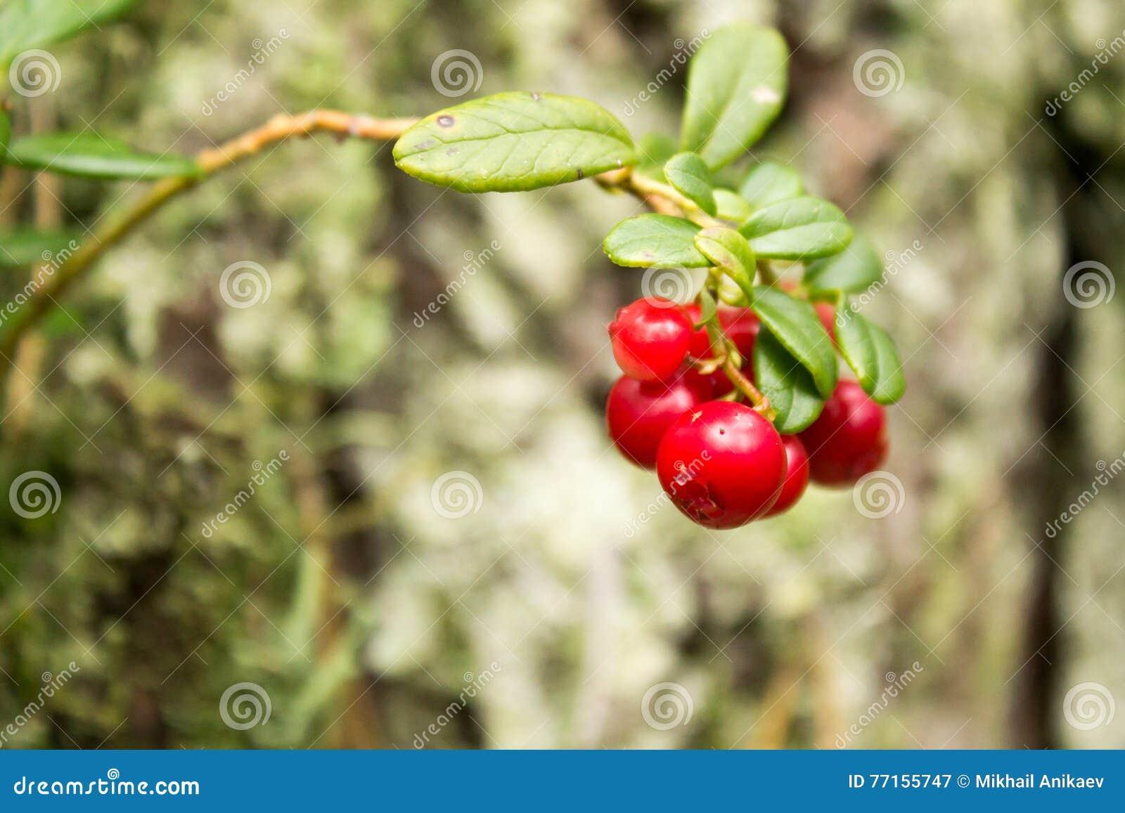 Airelles mûres rouges dans la forêt
