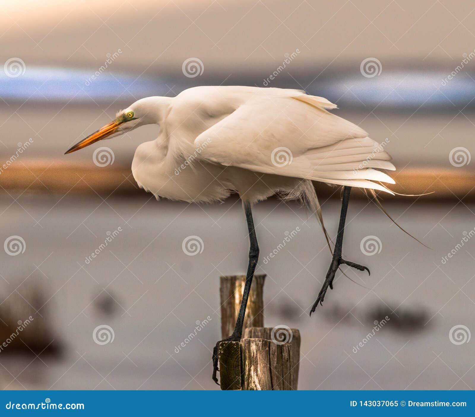 Airone bianco maggiore che equilibra su una gamba
