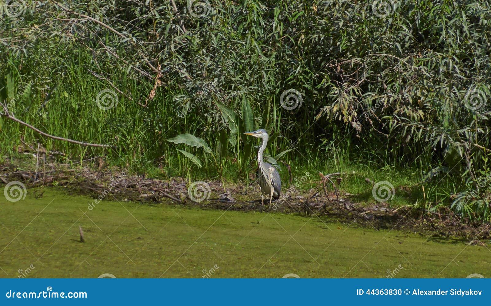 Airone che cerca alimento sulla banca del fiume