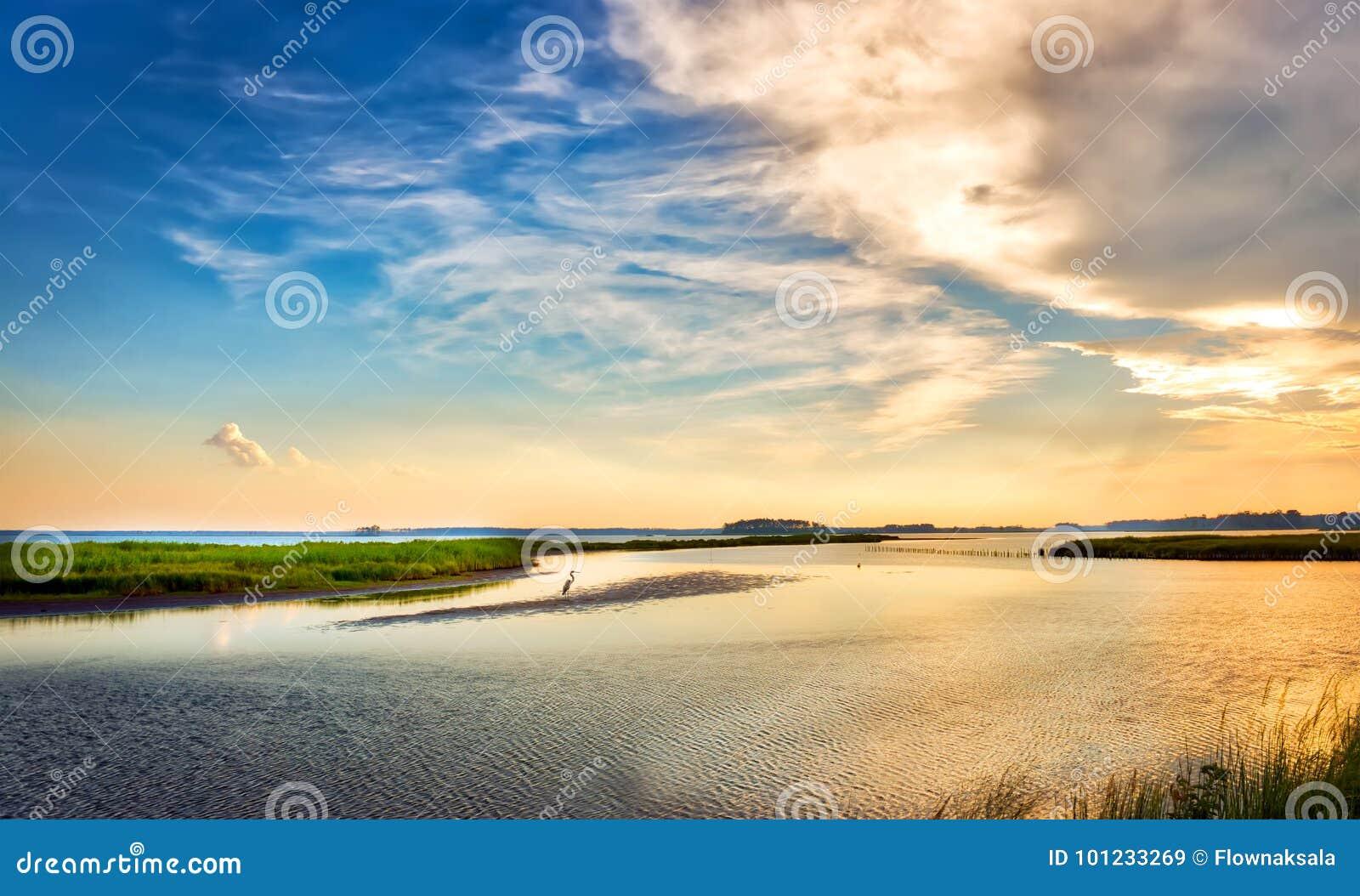Airone di grande blu che gode di un tramonto dorato della baia di Chesapeake