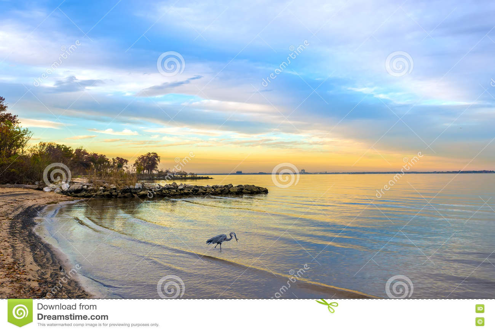 Airone di grande blu su una spiaggia della baia di Chesapeake al tramonto